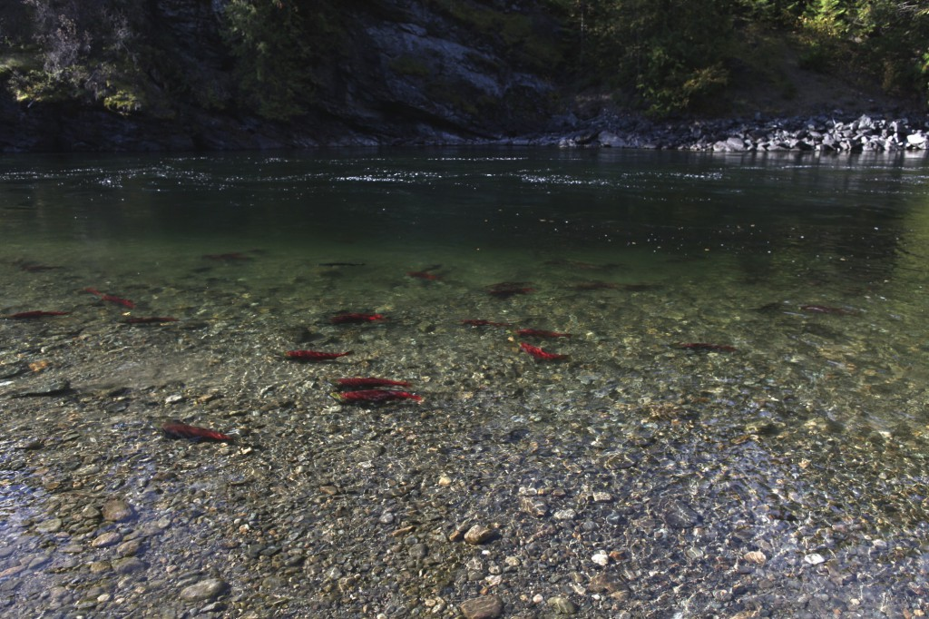 Salmon swimming up a rocky riverbed.
