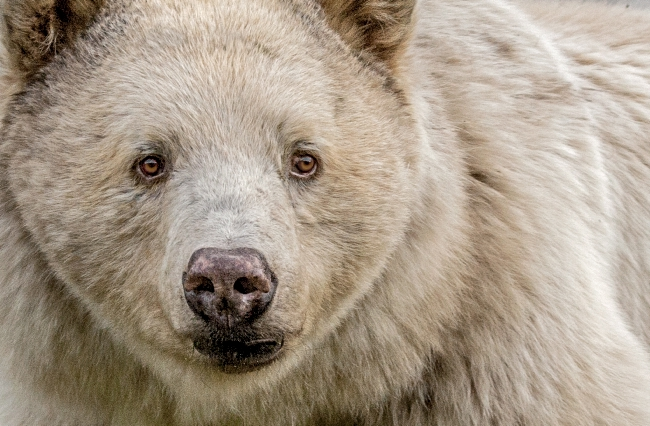 Close up on the face of a white spirit bear.