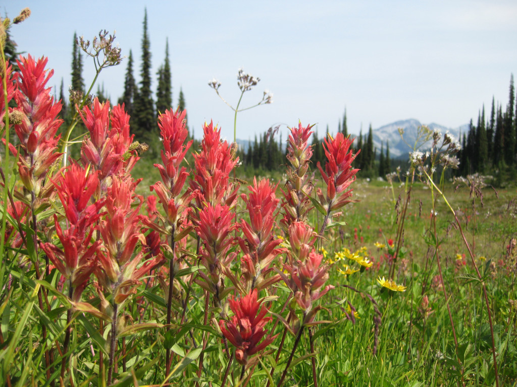 Bright red flowers grow in the foreground and snow capped mountains in the background.