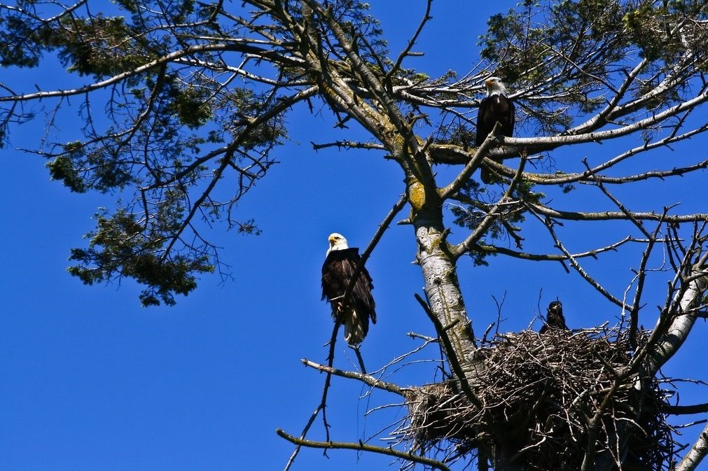 Two eagles perched in a tree, guarding their nests.