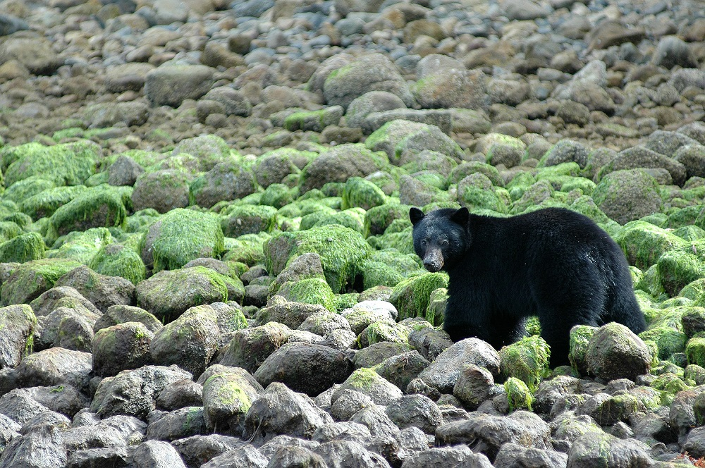 Black Bear at low tide walks across algae-stained rocks in Clayoquot Sound.