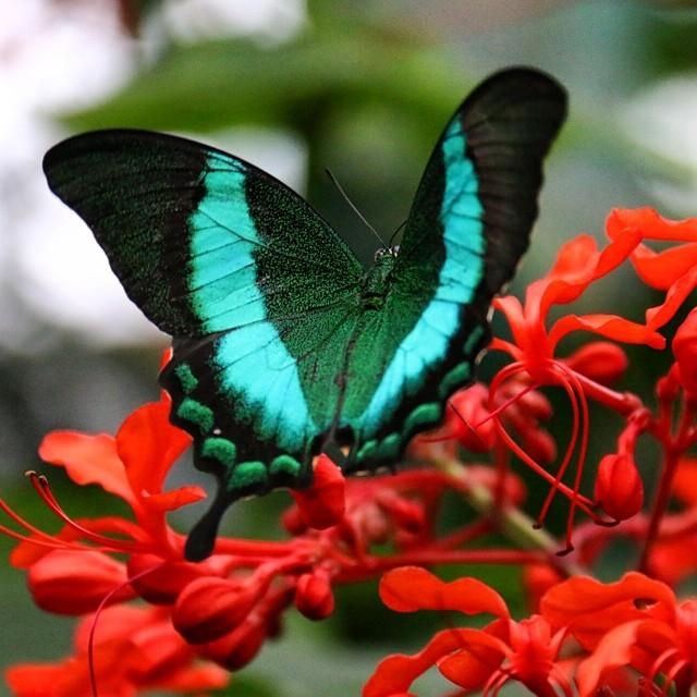 A black, blue, and green butterfly perched on a cluster of red flowers.