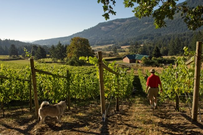 A man and his dog walk through a vineyard on a sunny day.