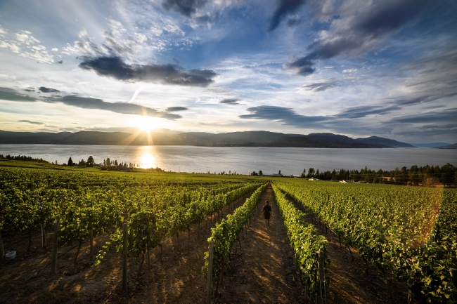 A woman walks through a lush vineyard at sunset.
