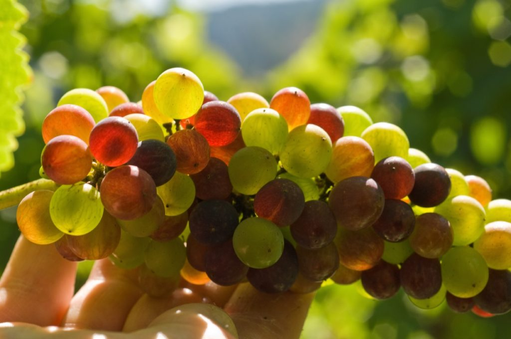 A hand holds up a vine full of ripe grapes.