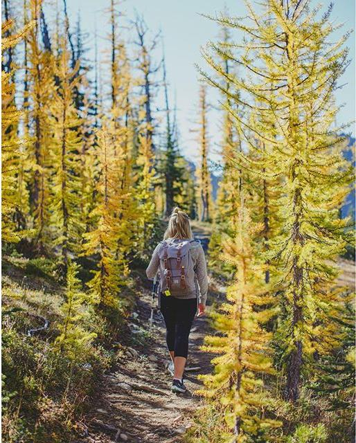 A hiker walks through a path lined with golden Larch trees.