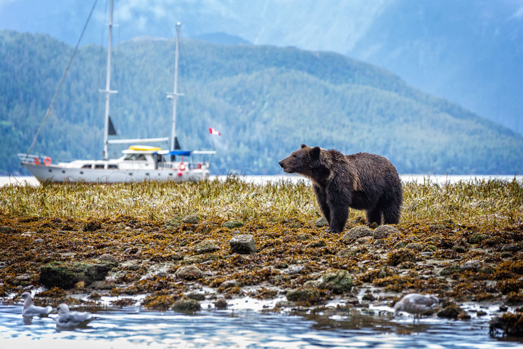 A large sailboat sails past a grizzly bear standing in a rocky riverbed.