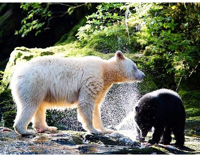 A spirit bear and her cub cool off in a stream in the Great Bear Rainforest.
