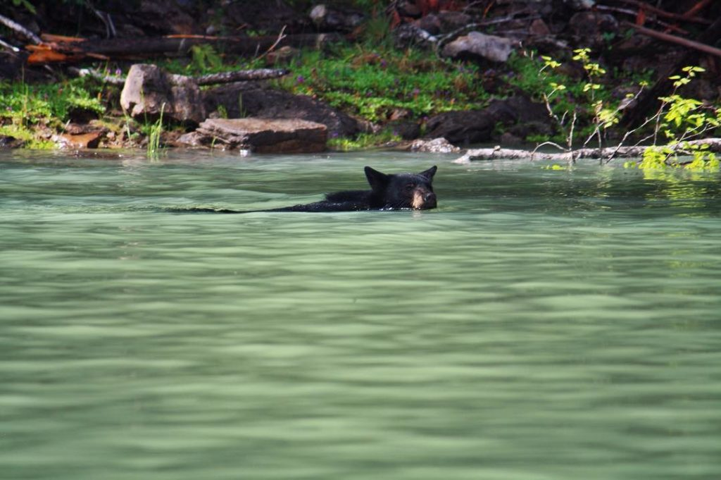 A black bear paddles through green waters.