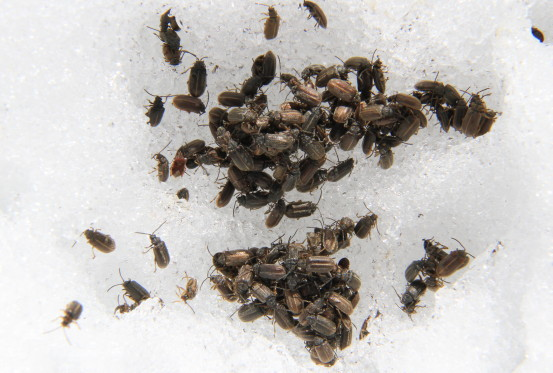 A collection of dead brown bugs in the snow.