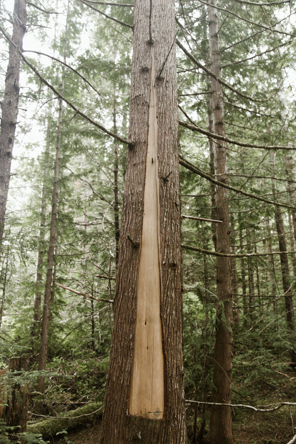 A tall cedar tree with a strip of bark removed.