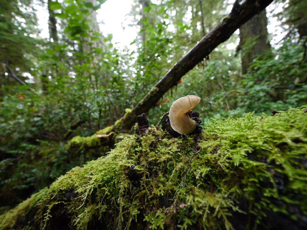 A wild mushroom grows on the side of a moss covered tree in the rainforest.