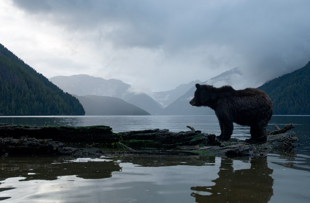 A bear looks out of a mountainous landscape.