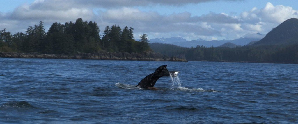 A humpback whale puts on a show.