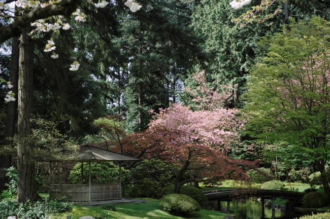 A cherry blossom tree in full bloom stands next to a small pond at UBC Nitobe Memorial Garden.