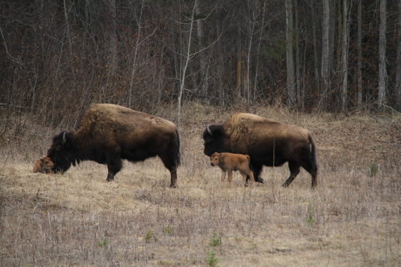 Two bison lead their newborn calves across a desolate landscape.