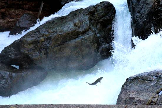 A salmon jumping upstream.