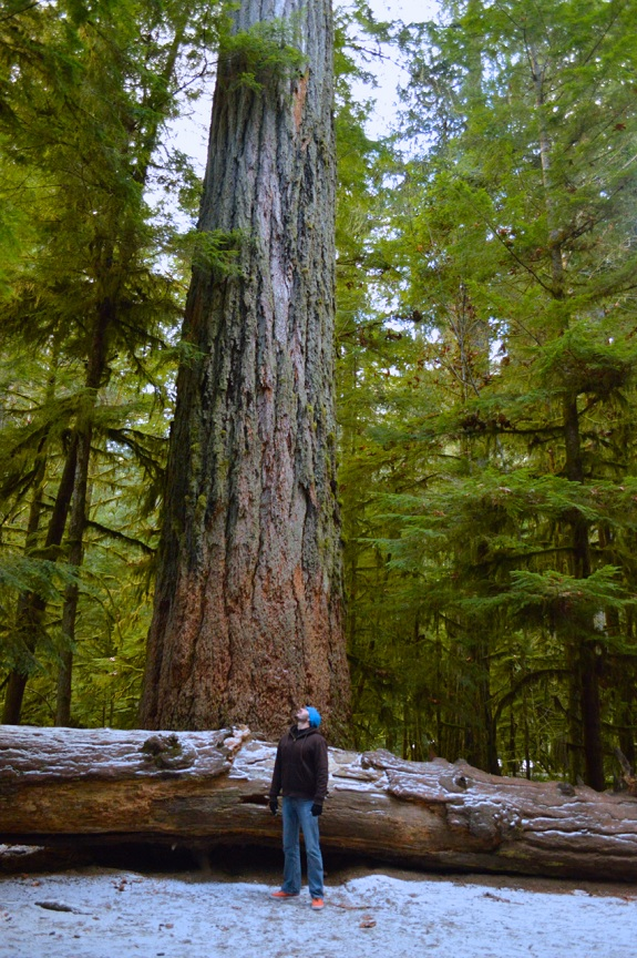 A man stops to stare up at an impossibly tall tree.