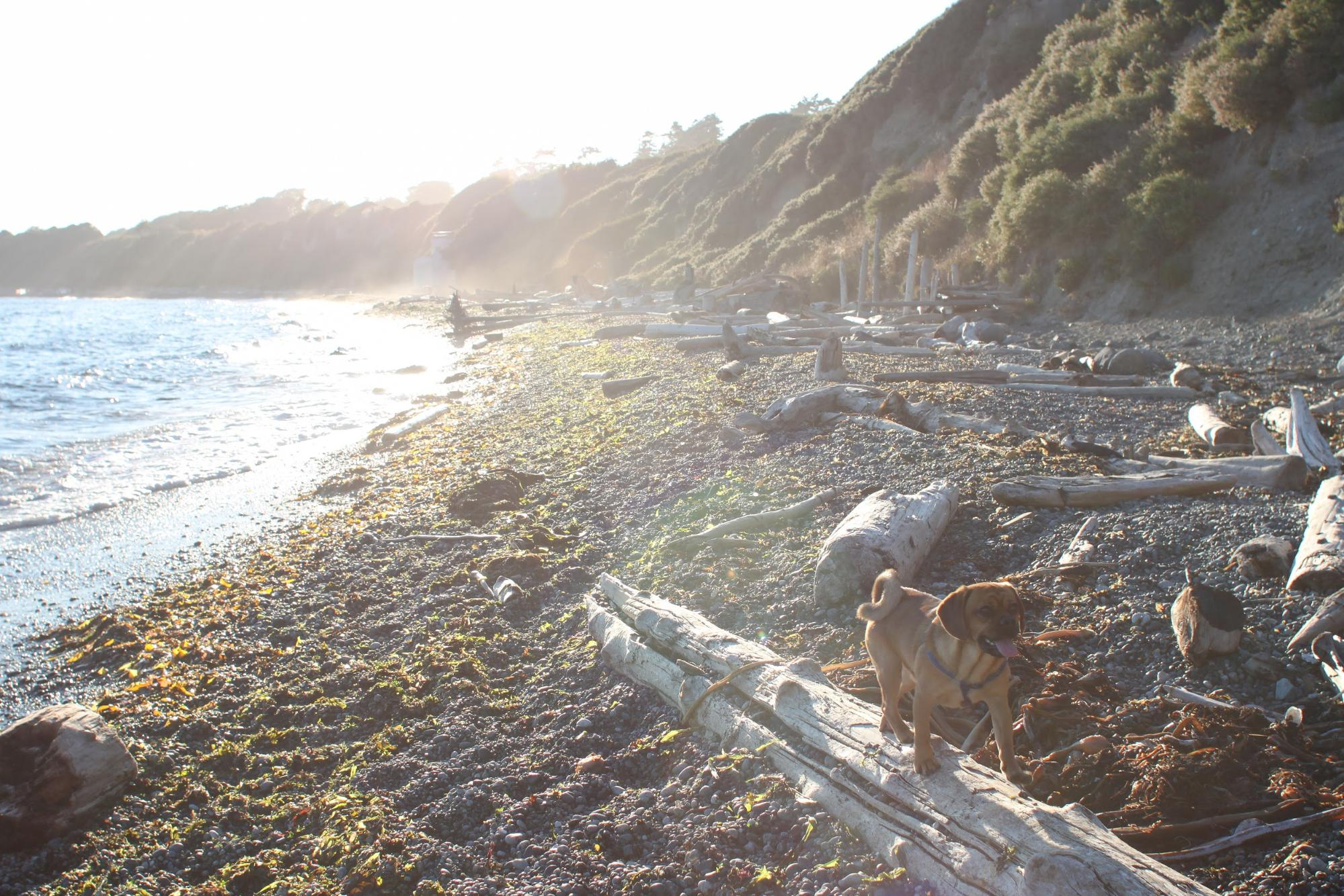 A happy dog walks across a piece of driftwood on a sandy beach.
