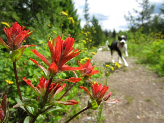 A white and black dog runs down a path lined with blooming flowers.