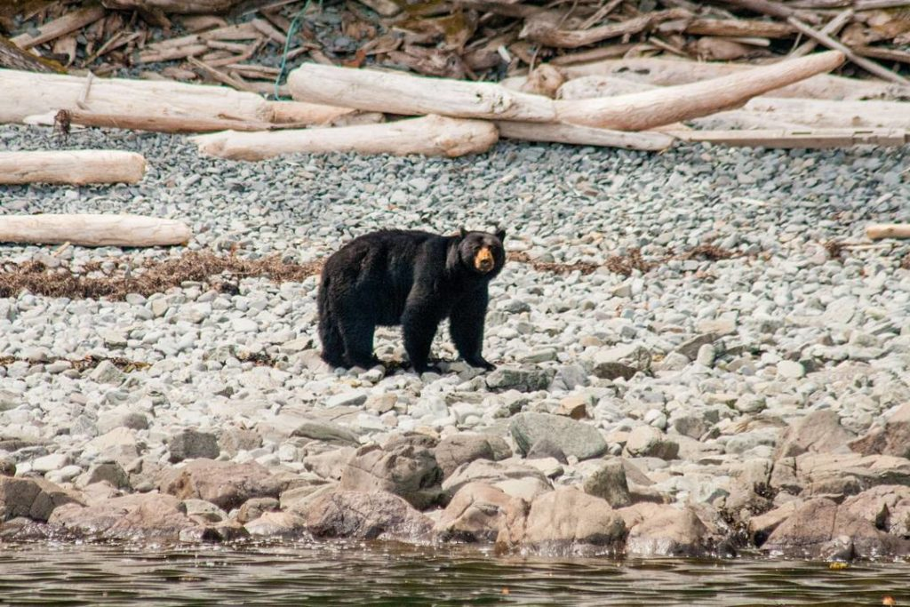 A large bear walks across a rocky beach on Haida Gwaii.