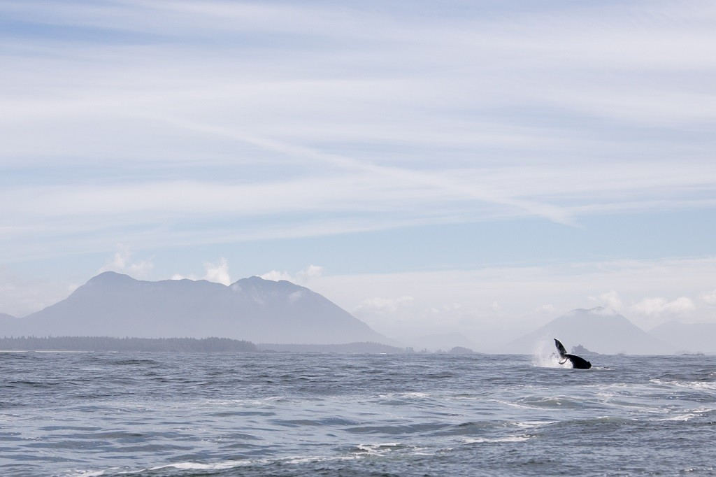 A humpback whale puts on a show with mountains in the background.