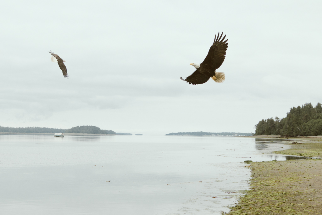 Two bald eagles flying over a remote beach on a foggy day.