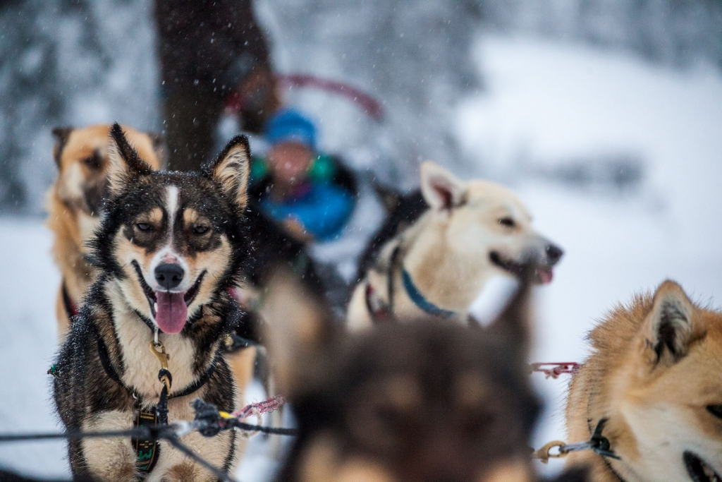Dogsledding at Sun Peaks Resort