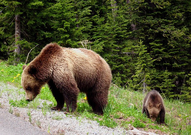 A mama grizzly bear and her cub sniffing for food along the highway at Mount Robson Provincial Park.