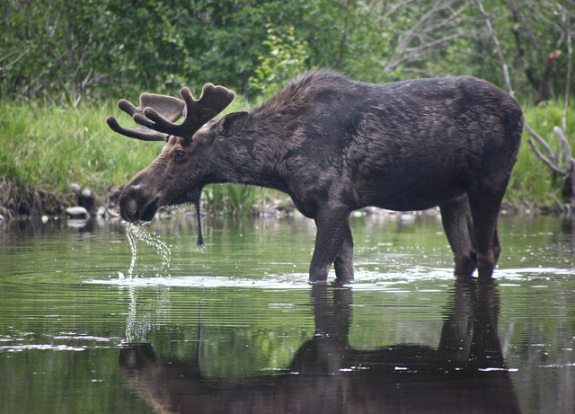 A moose drinking water in shallow water at Mount Robson Provincial Park