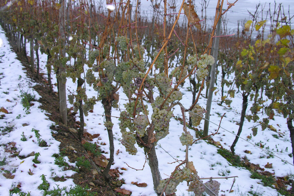 Frozen ice wine grapes. Photo: Mya via Flickr