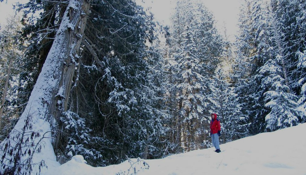 A hiker stands in a snow-covered forest, admiring the trees.