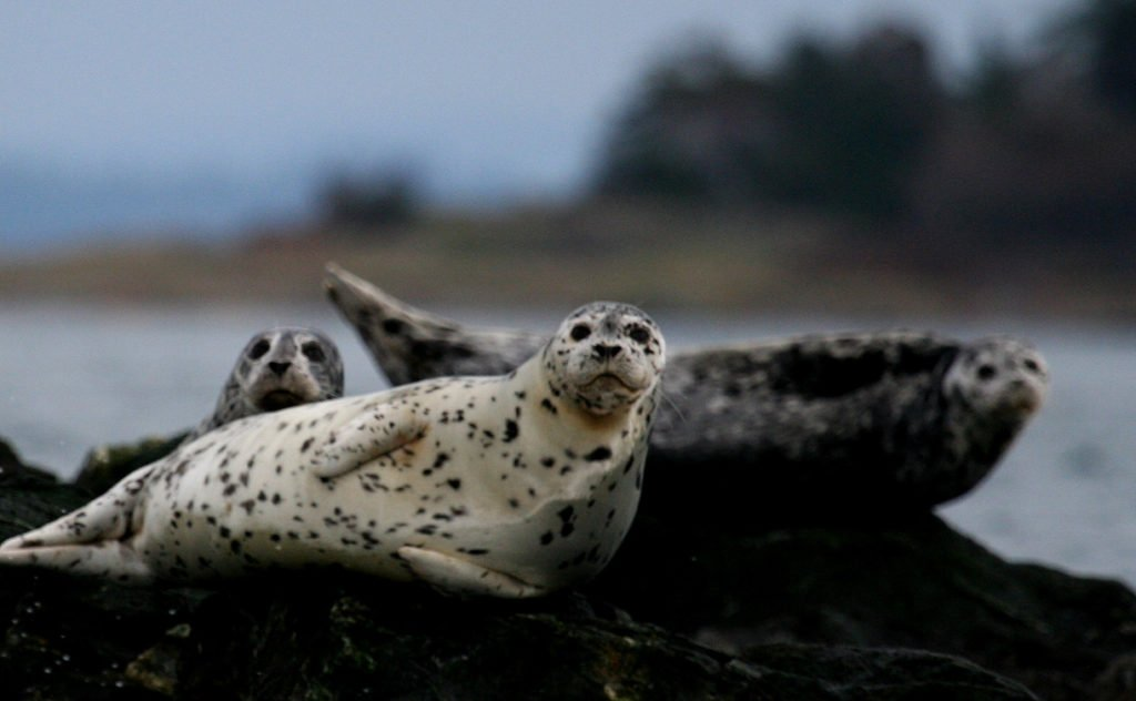 Harbour seals can be spotted on rocks near Victoria.