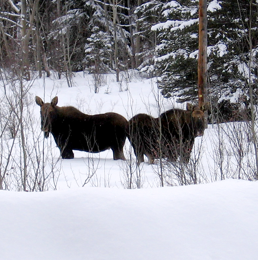 Moose can be spotted near Nimpo Lake.