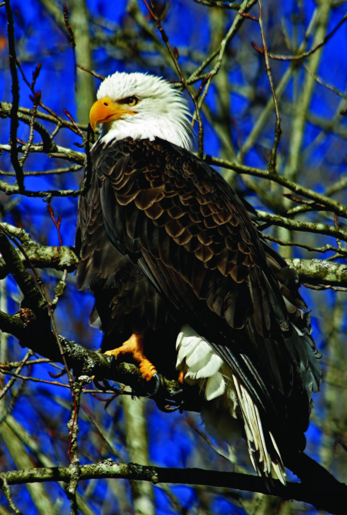 Bald eagles can be viewed from Squamish's Brackendale Eagles Provincial Park.