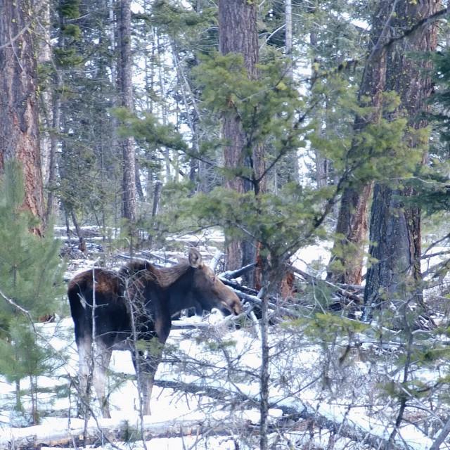 Moose at Stake Lake near Kamloops