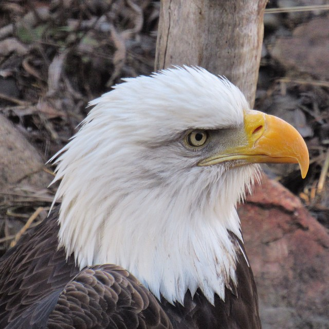 Bald eagle at the BC Wildlife Park in Kamloops