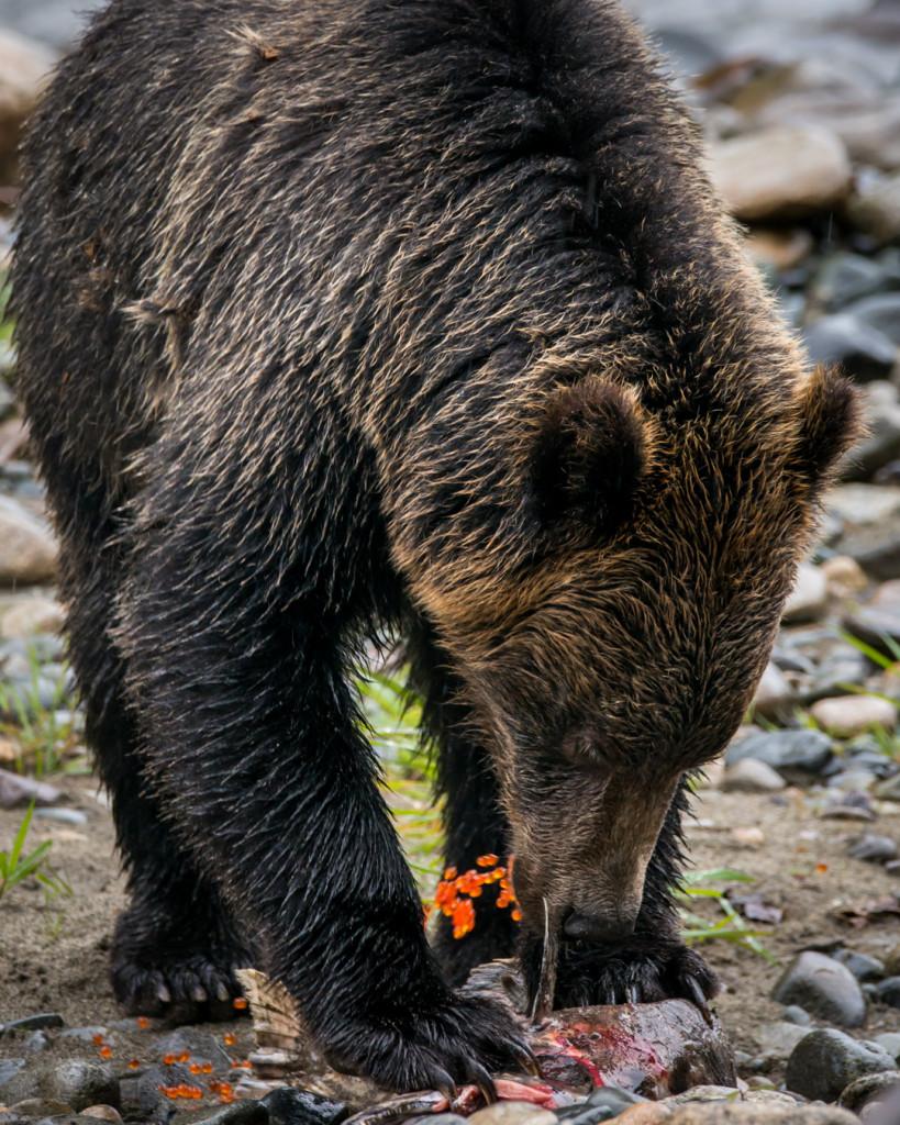 A grizzly bear eats a salmon on a rocky riverbank.