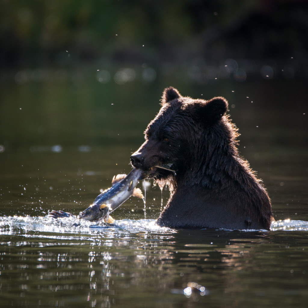 A grizzly stands up to its neck in water with a freshly-caught salmon in its mouth.
