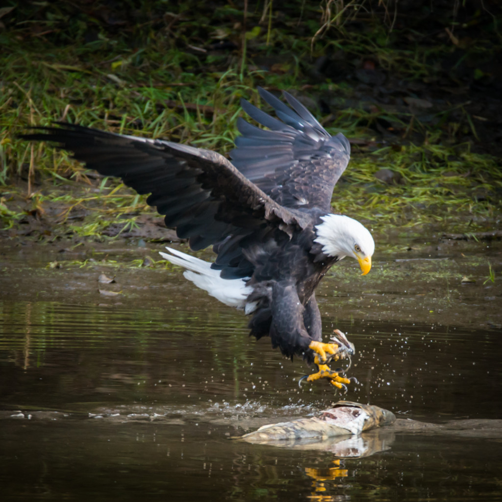 A bald eagle swoops down on a dead salmon floating on the top of the water.