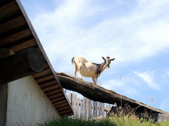 A goat standing on the roof of Coombs Country Market, looking down at the camera.