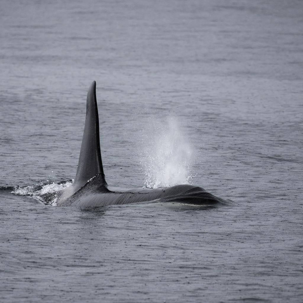 An orca's fin reaches out of the dark ocean.