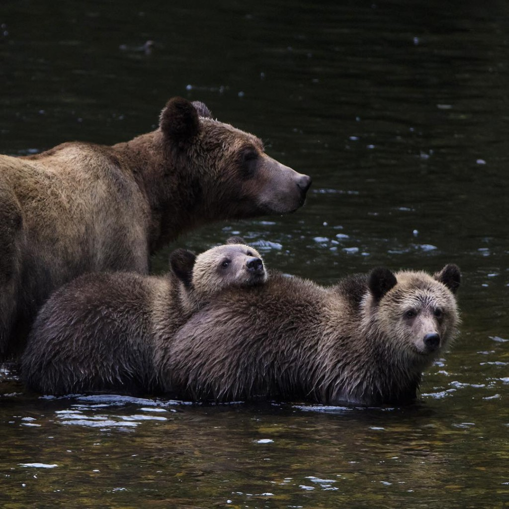 A mother grizzly bear and her two cubs crossing a river.