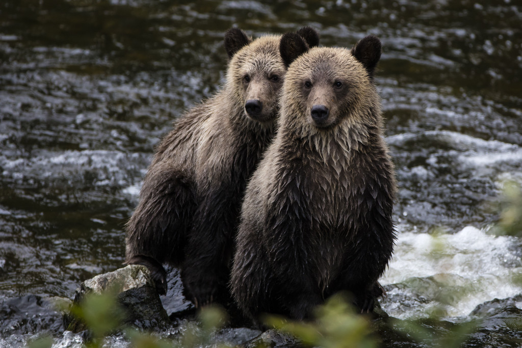 Two grizzly bears sit in a rocky river bank.
