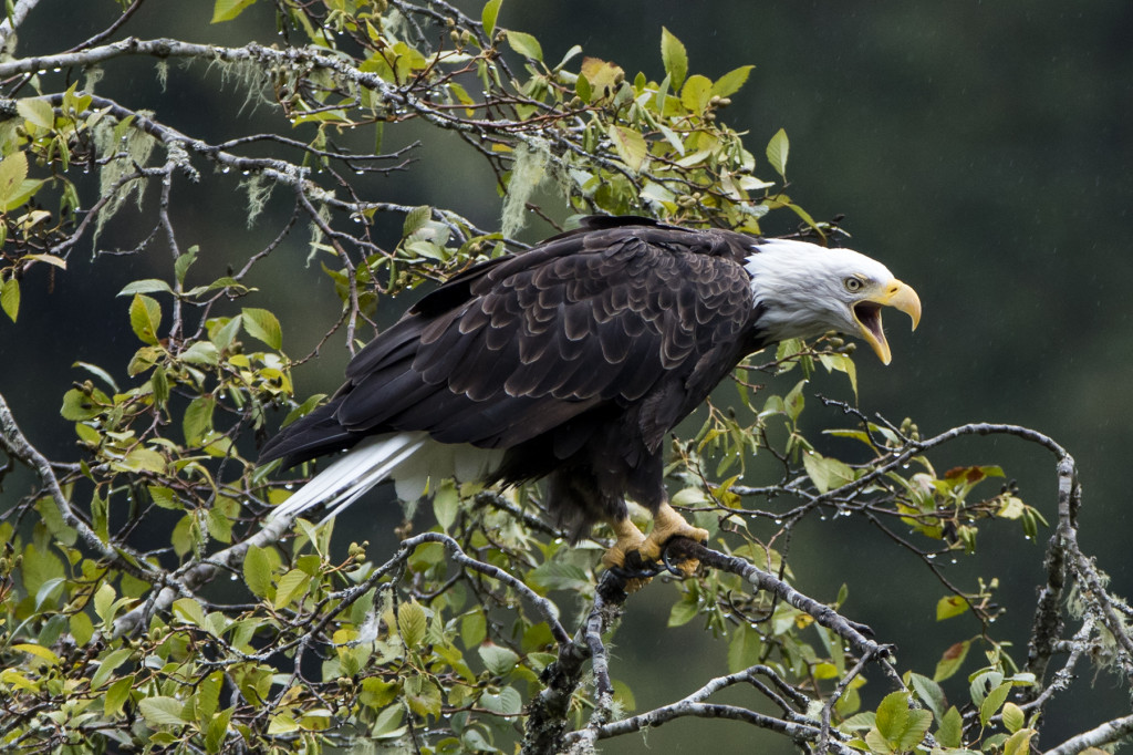 A bald eagle with its beak wide open is perched in a tree.
