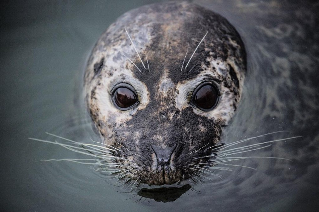 A small seal pokes its face out of the water
