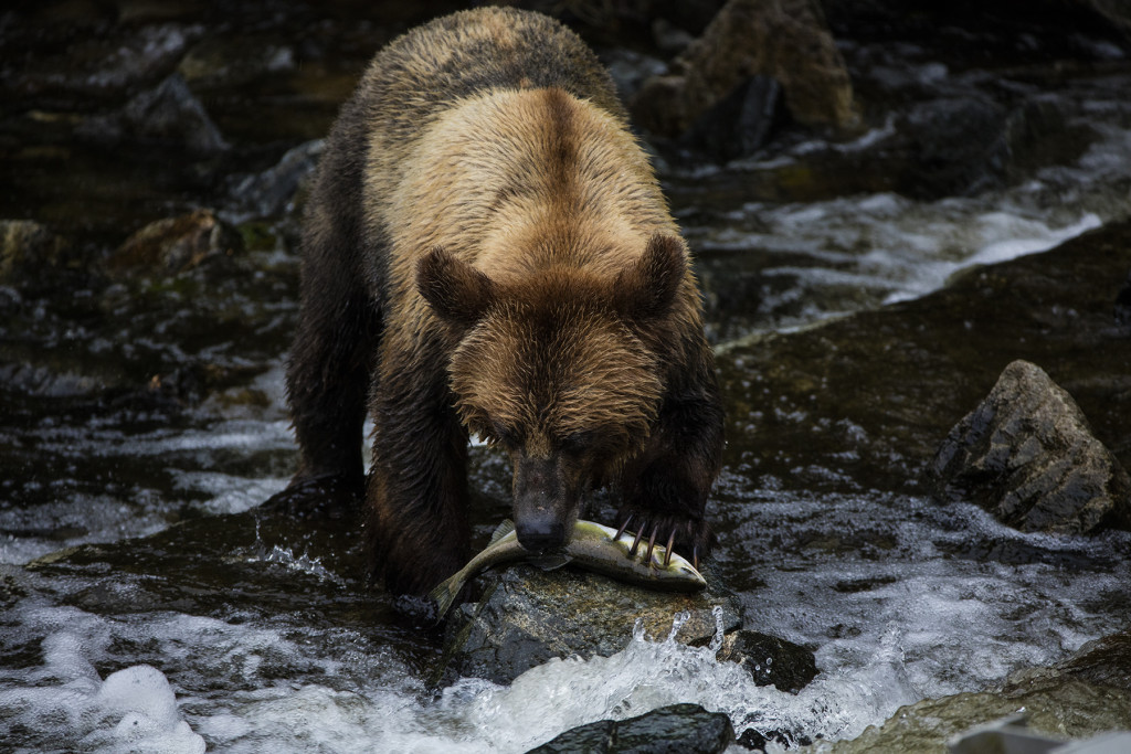 A grizzly bear stands in a river, eating a salmon.