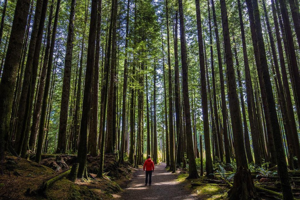 A hiker explores a path lined with tall trees on a sunny day.