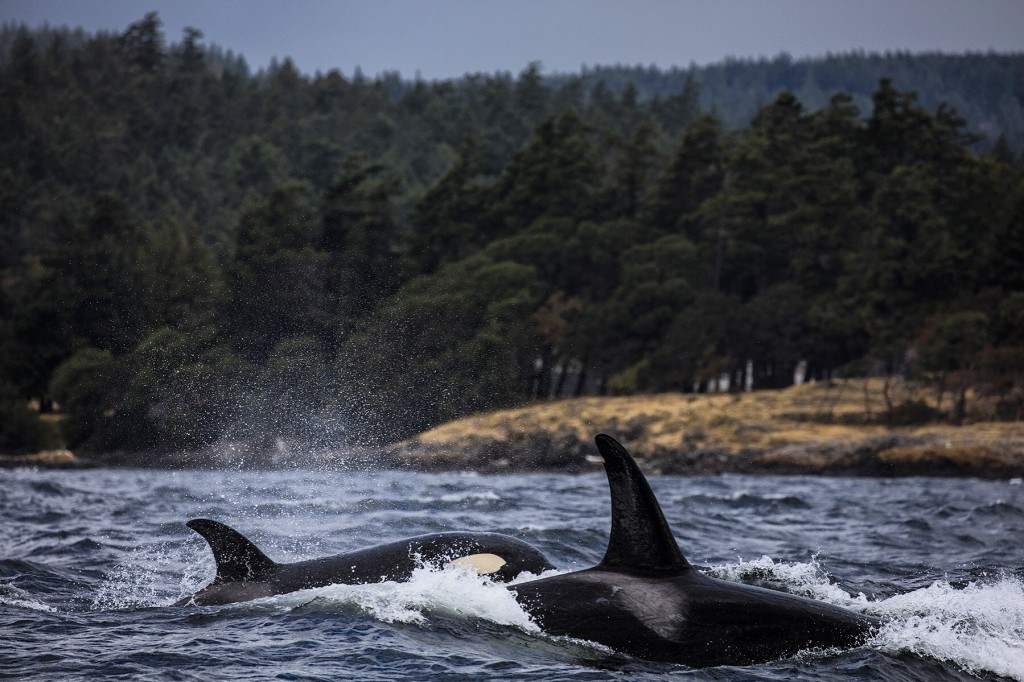 Two breaching orcas.