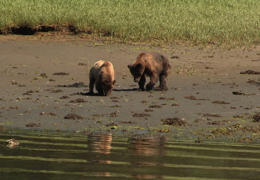 Two adult grizzly bears on the shore in the Khutzeymateen Grizzly Bear Sanctuary.